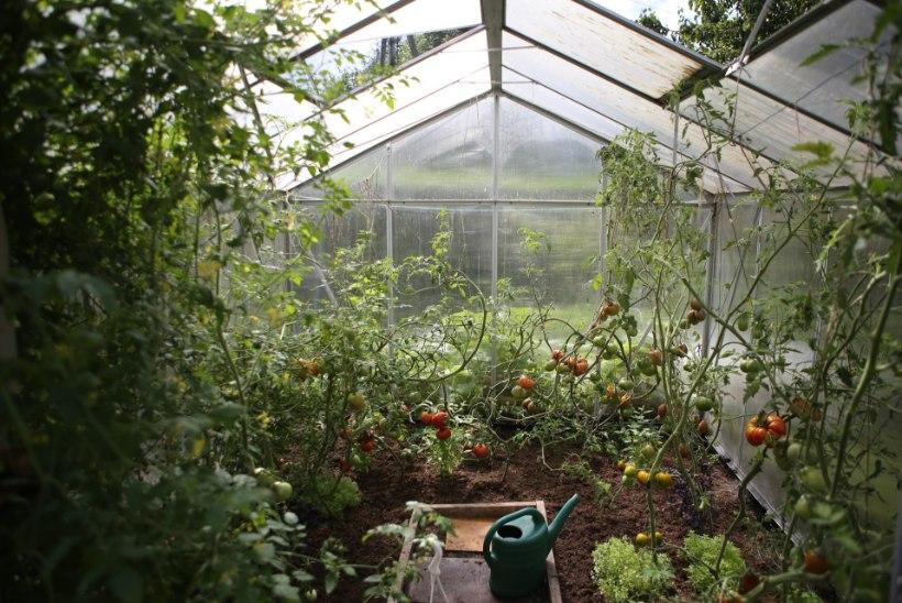 AIAHOOAEG KÄES: kuidas valida sobivat kasvuhoonet?