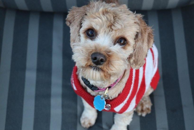 Ekspert selgitab: kas koera riietamine on põhjendatud?
