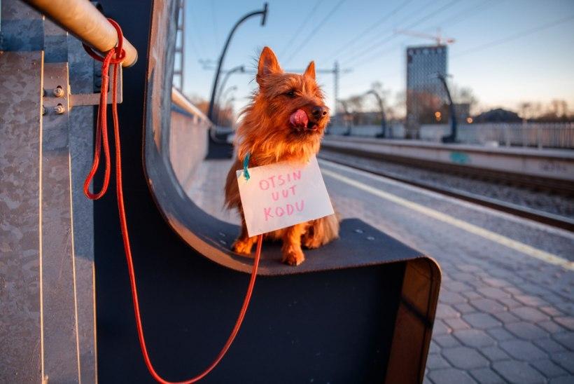 KARANTIINI MÕJU: inimesed on hakanud aina enam endale koeri võtma