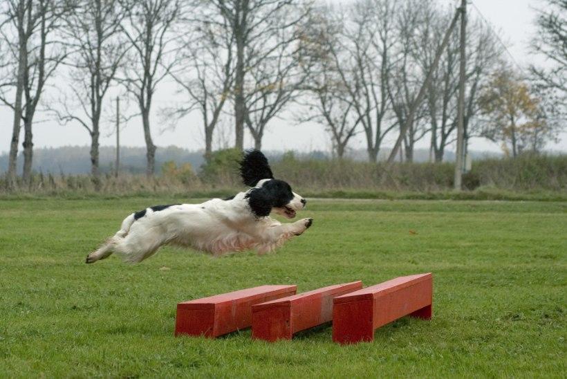 PÕNEV HOBI | Koerasport liidab koera ja omaniku ühtseks tiimiks