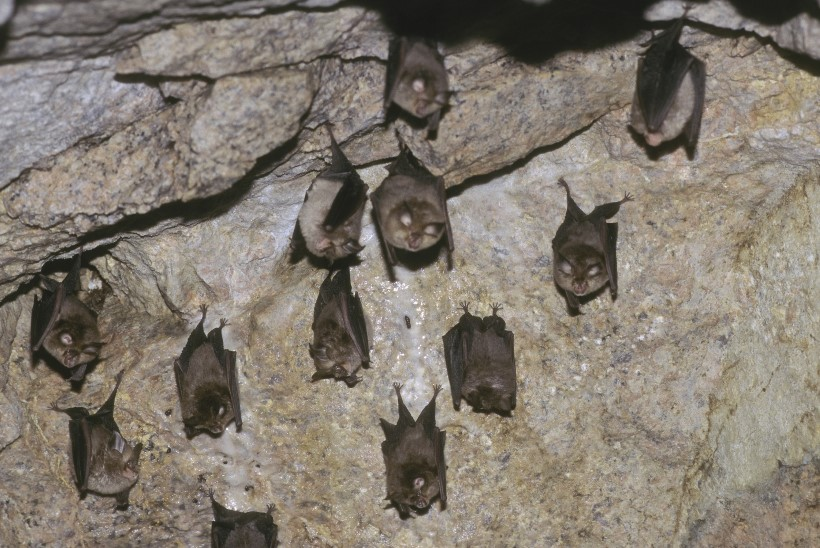 Nahkhiirtelt inimese kopsudesse: koroonaviiruse evolutsioon
