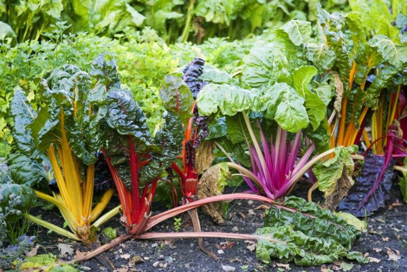 Põhjalik sordijuhend! Värvikaid väljakutseid hakkajale aednikule