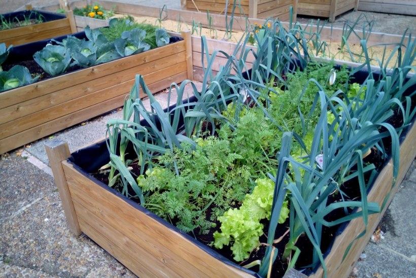Köögivili oma rõdult: seemned internetist ja taimed potti!