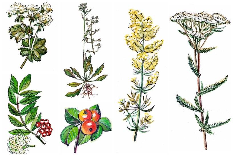 Ravi loodusest: pärmseene vastu marjade ja roheliste ürtidega