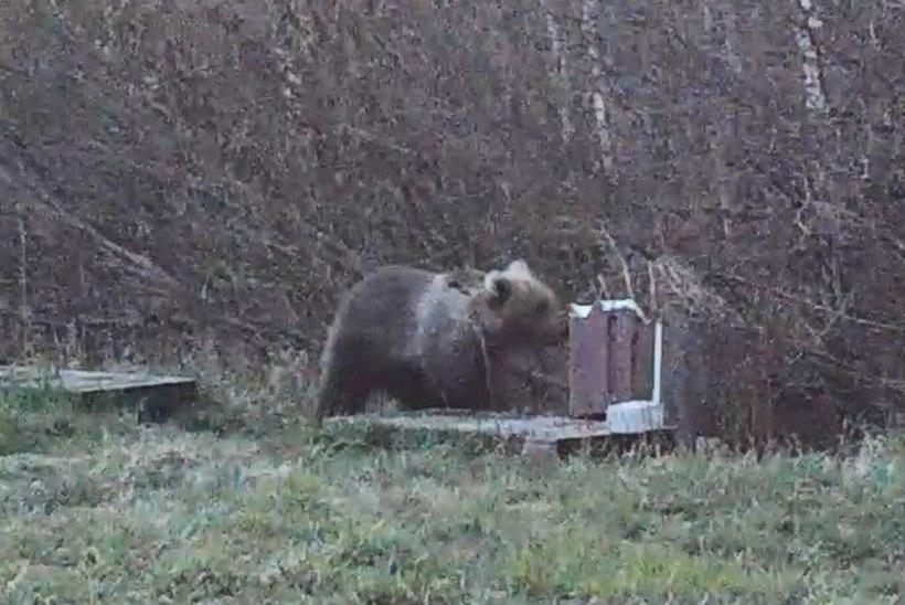 """VIDEOD   Karujõmpsikas terroriseerib külarahvast! """"Viimati üritas ta meie välipeldikusse minna."""""""