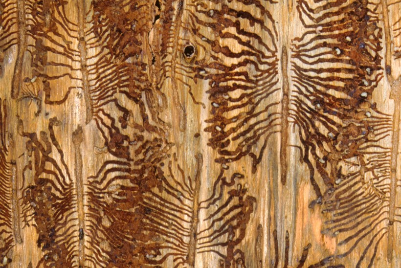 Ürask hammustab kuuses läbi suhkrutorud ja puu sureb