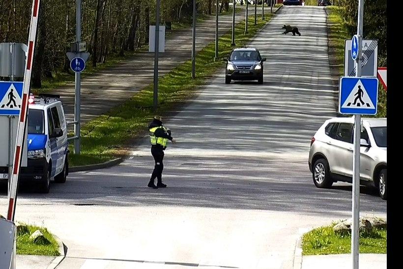 VIDEO | Vaata, kuidas Haabersti karu politseinike nina eest läbi kappas