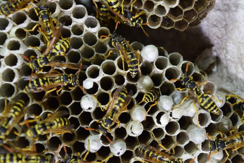 TASUB KARTA! Putukasuts võib olla eluohtlik