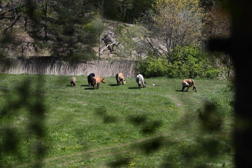 FOTOD | Haaberstis kolanud karude tõttu pääsesid veised Piritale muru niitma alles täna