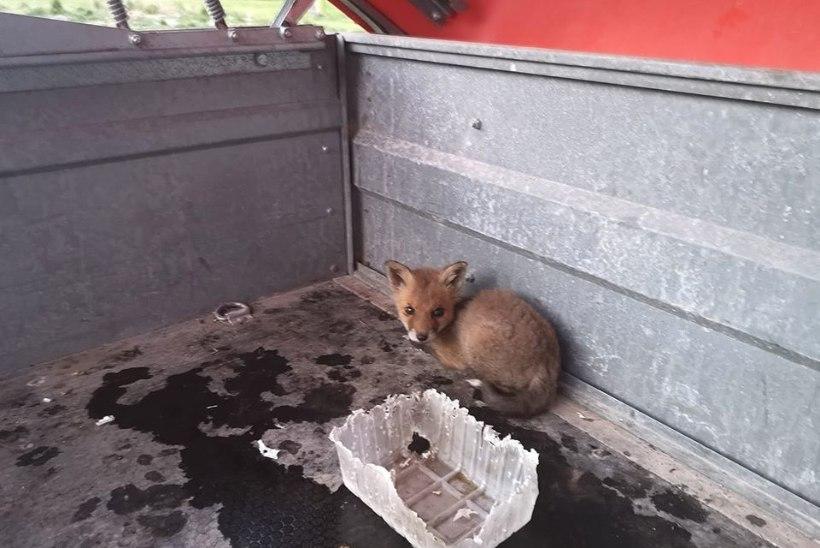 Loomakaitsjad süüdistavad inimperet rebasepere piinamises