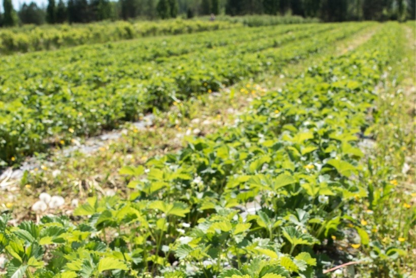Maasikakasvataja kutsus ministreid maasikapõllule