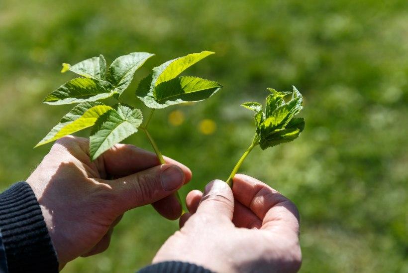 MAITSEELAMUS METSAST: süüa leiab nii puu otsast kui ka puu alt