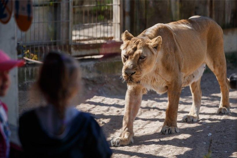 GALERII | Mõnus kevadilm meelitas Tallinna loomaaeda palju rahvast