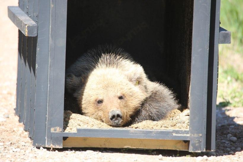 PILDID | Külarahvast terroriseerinud karujõmpsikas püüti kinni!