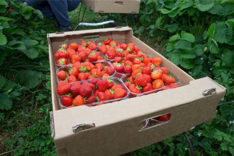 Helme: ükski maasikakasvataja ei vastuta, kui koroona tuuakse tagasi