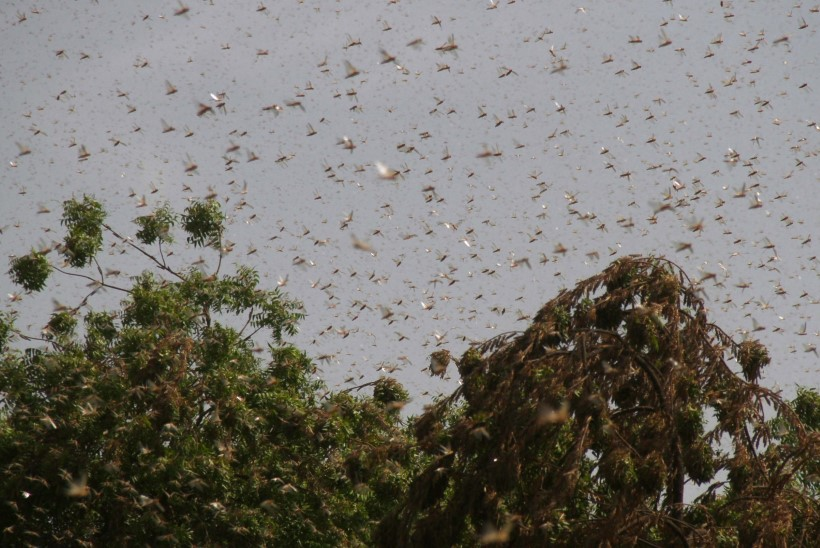 VIDEO | KÕRBETIRTSUD RÜNDAVAD: putukad nuhtlevad Pakistani põllumehi