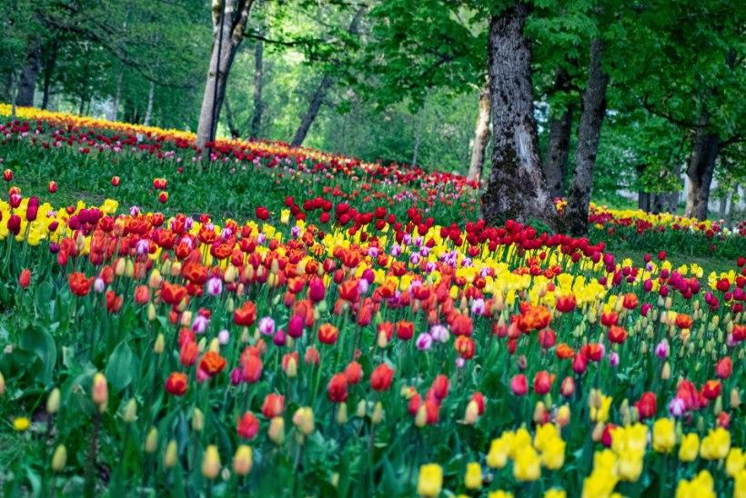 GALERII   Lummav lillemeri Kirnas: 200 000 tulpi avasid õied