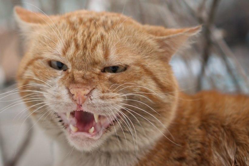 Koeraomanikku rünnanud kuri kass viidi varjupaika