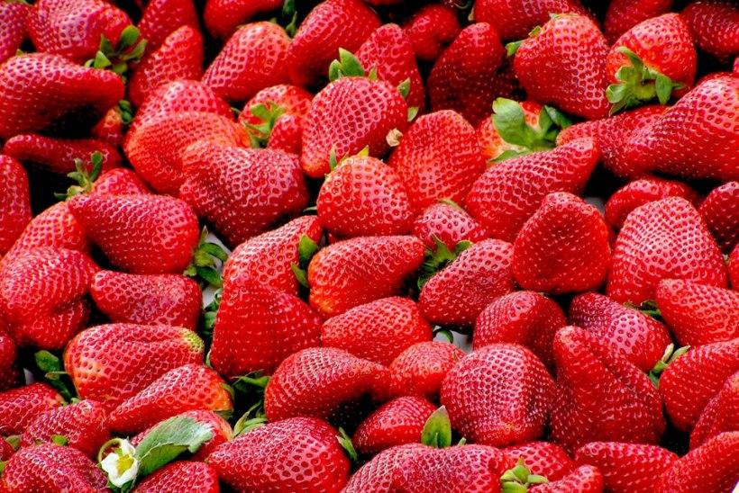 Juhtkiri   Maasikakasvatajate vastu maksuameti abiga?