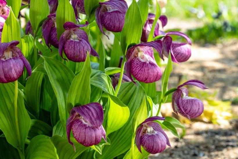 Orhideed aeda! Loe, kuidas kuldkingi kodustes tingimustes kasvatada