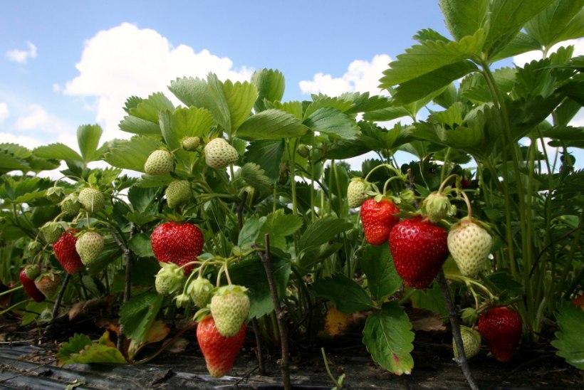 """""""Lootused on alla käinud."""" Maasikakasvatajad ei tea jätkuvalt, kellega hakatakse marju korjama"""