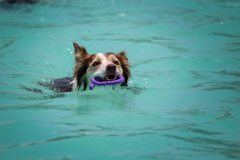 LEITSAK HOIATAB: 5 soovitust, kuidas kaitsta koera eluohtliku kuumarabanduse eest
