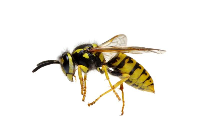 Mida teha, kui kodu ümbruses on herilase- või mesilasepesa?