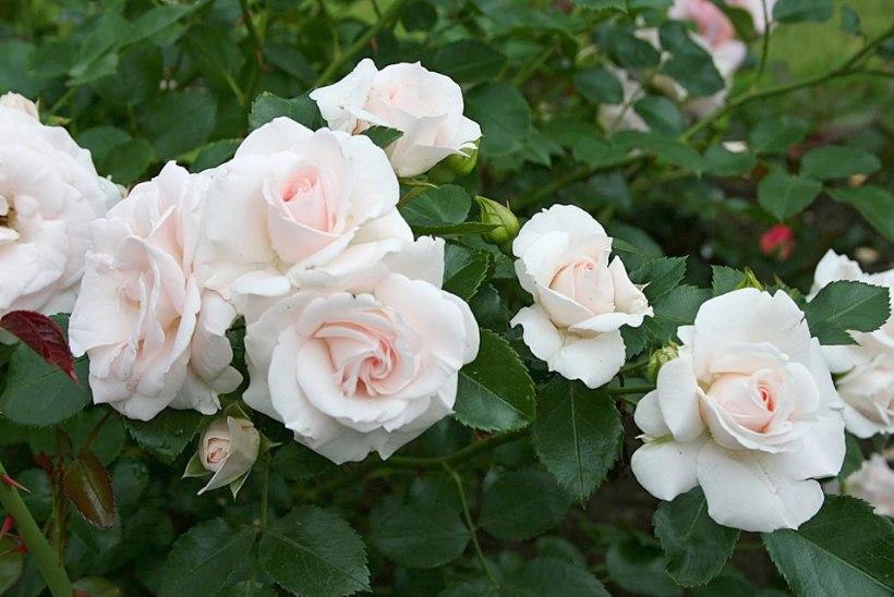 Tahad aeda roosivaipa? Vali hoolega sorti ning pea silmas neid istutamise tõdesid