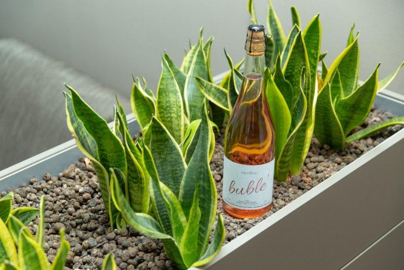 ROOSA TULEPROOV | 10 kodumaist rabarberiga vahuveini – milline on nagu kallis šampanja ja mäherdusega võiks marineerida?