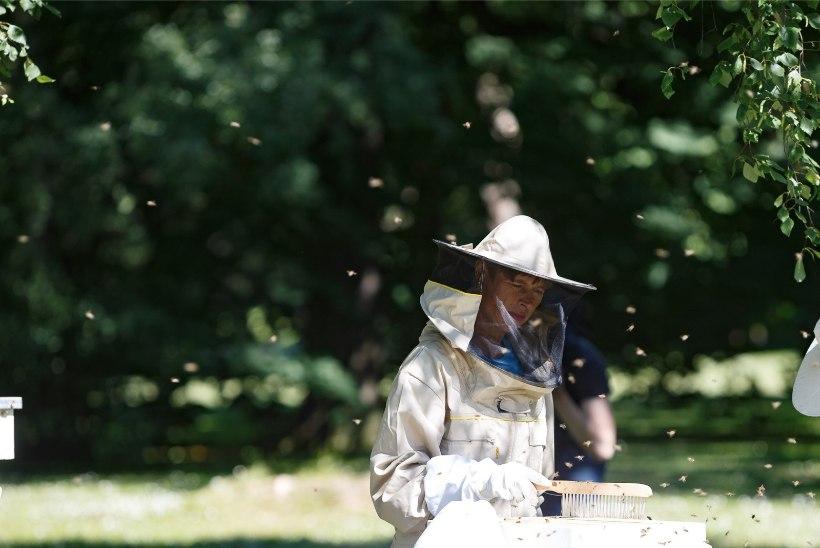 GALERII | President Kersti Kaljulaid võttis kantselei mesitarudest aasta esimese saagi