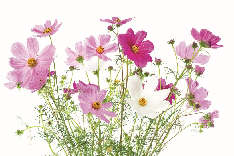 Kosmos – tilli vääriline asendaja lillepeenras