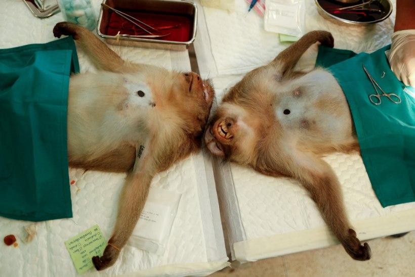 MUNAD MAHA! Tai võimud hakkavad metsikuid ahve steriliseerima