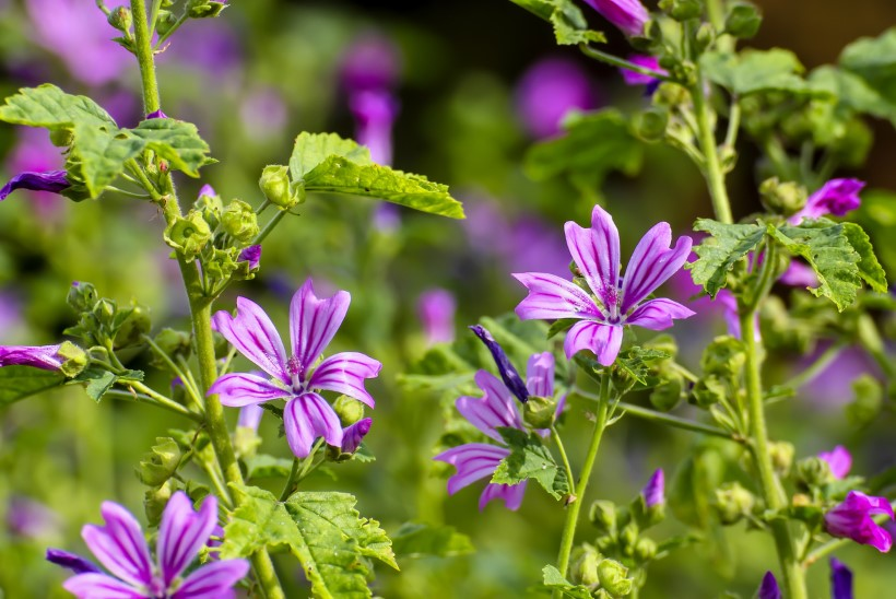 Söödavad lilled ehk Aiailu, mis sünnib patta panna