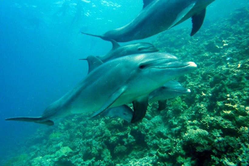 Delfiinid õpivad kaaslastelt