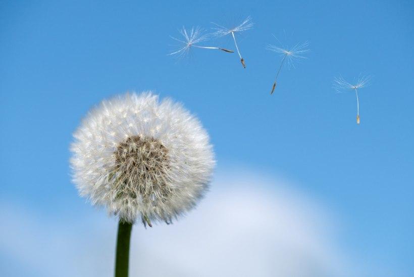 ELUOHTLIK SUTSAKAS MESILASELT: need on neli peamist suvise allergia põhjustajat