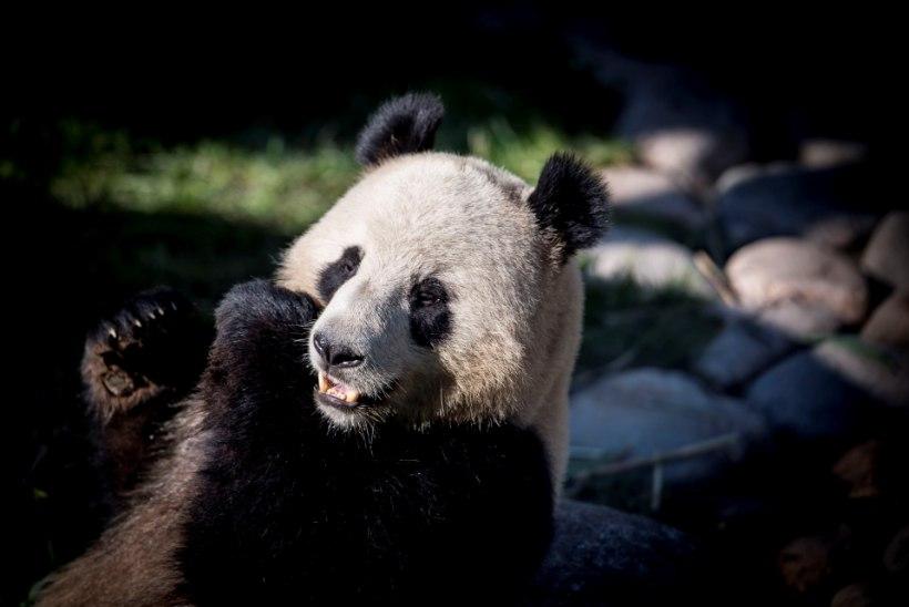 VANGISTUSEST KÕRINI! Kopenhaageni loomaaia panda põgenes puurist