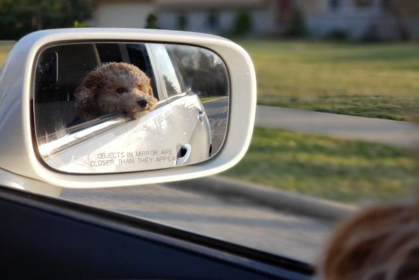 LEMMIKUGA REISILE | Kuidas looma turvaliselt sõidutada?
