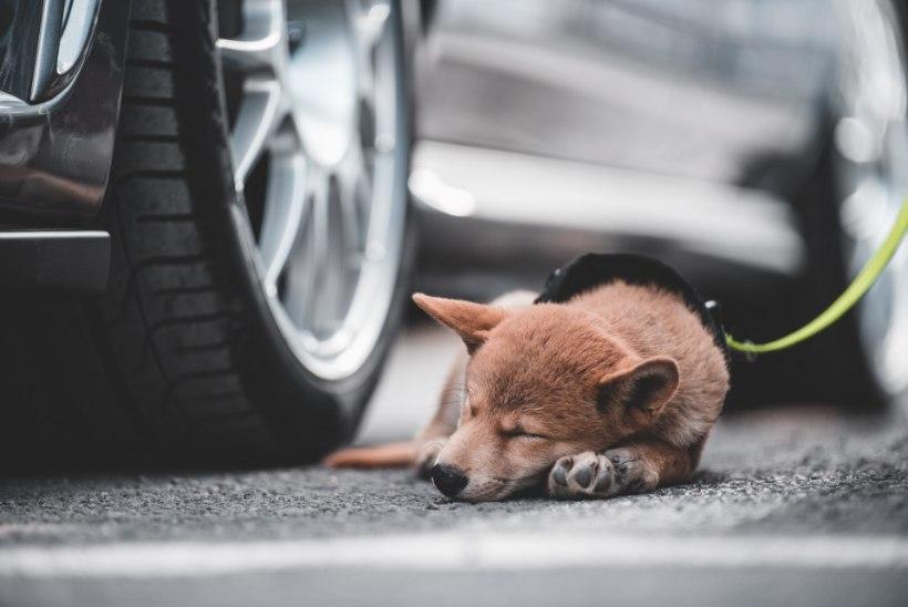 Kas jätta koer autosse või auto kõrvale õue? Tiina Toomet: mõlemad on halvad variandid!