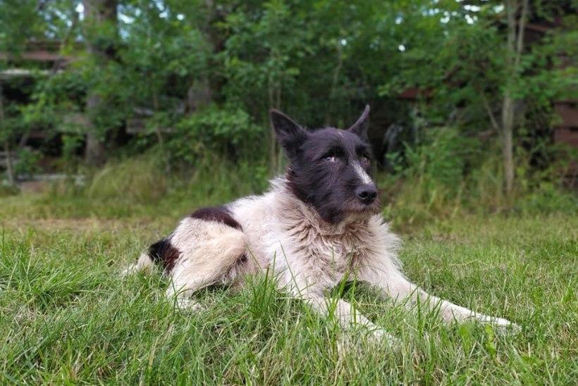 HULKURKOER ŽORIKU SAAGA LÕPP? Varjupaiga vahet pendeldanud legendaarne koer leidis lõpuks armastava kodu