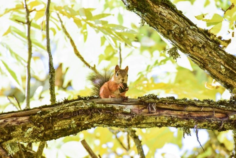 Colorado oravad põevad muhkkatku