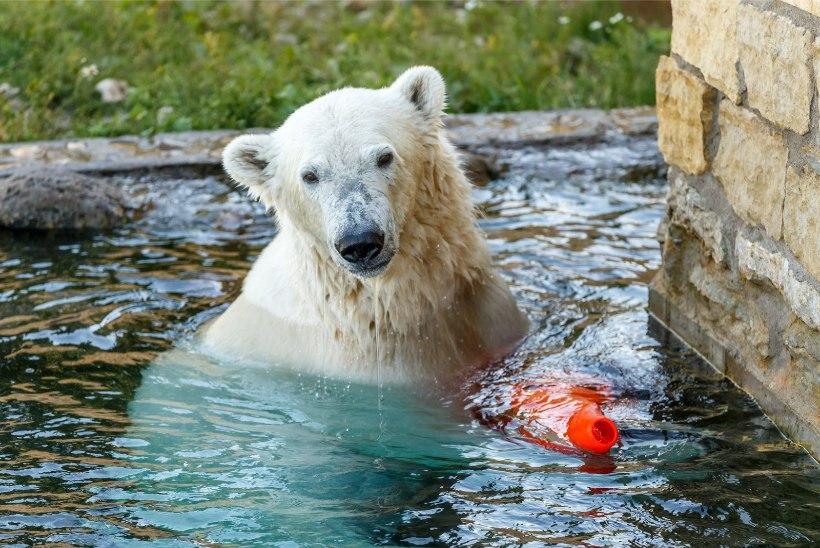 ÕL VIDEO | PONKS POISS: 300kilone jääkaru Aron valmistub sõitma Prantsusmaale pruudi juurde