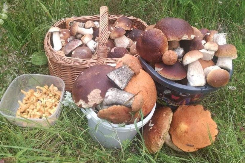 SEENEAASTA ON ALANUD: Tartumaal korjati viie tunniga 30 kilo puravikke