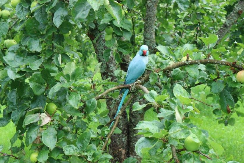 KELLE OMA? Pärnumaa metsikus looduses elab erksinine papagoi