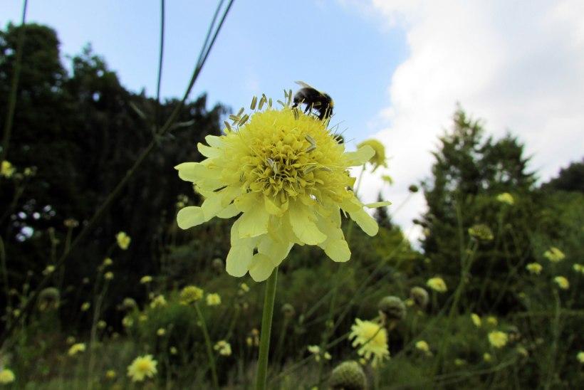 Praegu kaunistavad aeda vähetuntud püsikutest suvestaarid