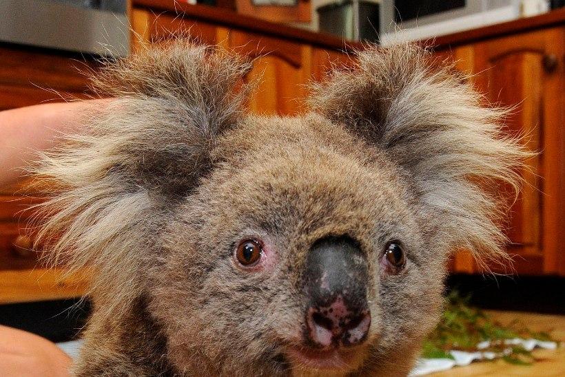 MUST SUVI: Austraalia metsapõlengute teele jäi umbes kolm miljardit looma