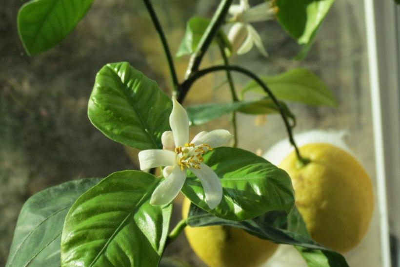 Kreeka pähklid ja viigipuu ehk Kuidas saada kasvama killuke eksootikat Eesti mullas?