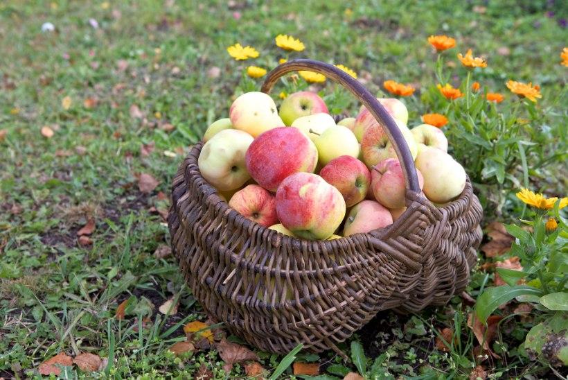 KOLUMN | Reet Linna: raisku ma õuntel minna ei lase!