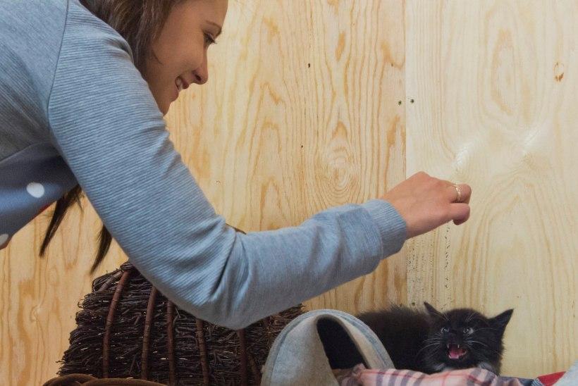 Armsaim amet maailmas? Tartu loomade varjupaik otsib kassipoegade süleshoidjaid