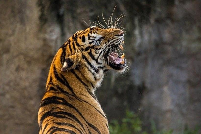 Šveitsis tappis tiiger 55aastase loomaaiatalitaja