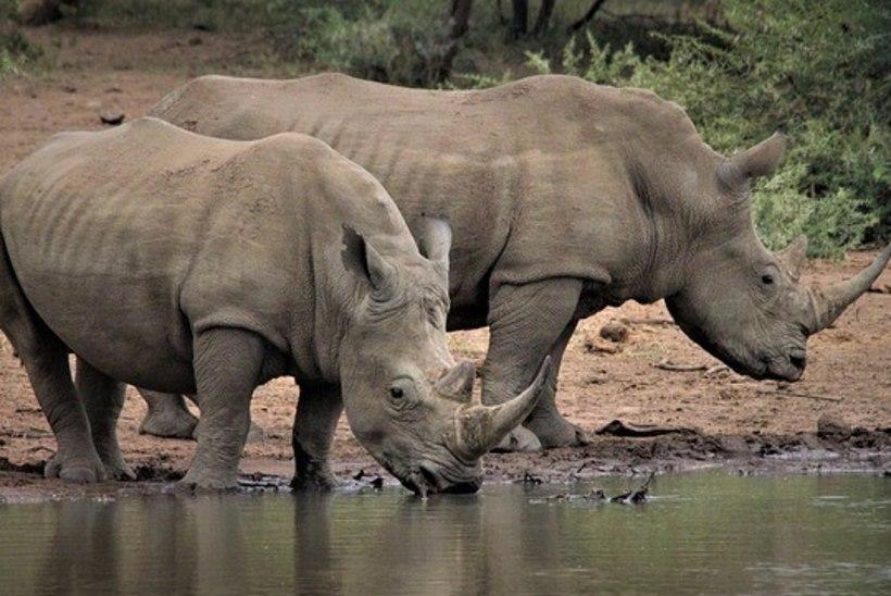 Lõuna-Aafrikas salakütiti esimese kuue kuu jooksul ninasarvikuid poole vähem